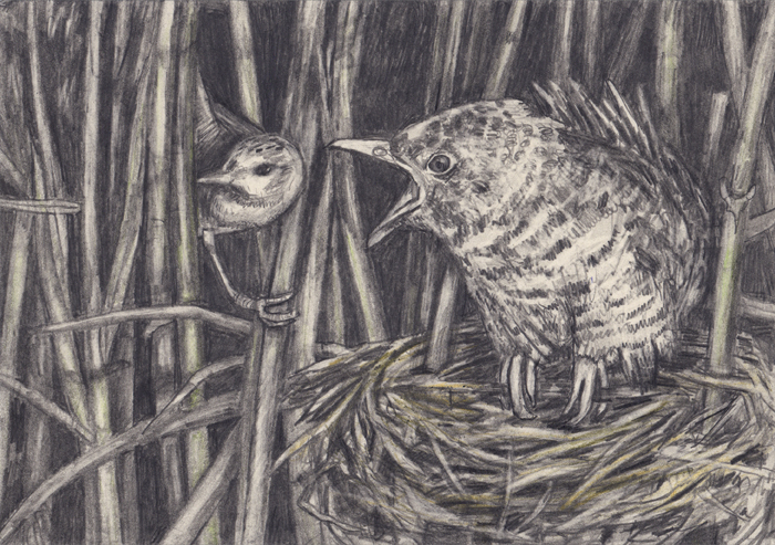 Kleine karekiet met koekoeksjong /   small reed warbler with cuckoo cub  (2020) graphite and colored pencil, on paper, 14,8 x 21 cm